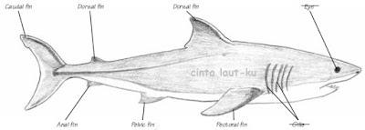 bagian dan nama sirip ikan hiu