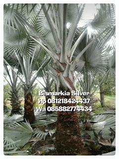 Jual pohon palm bismarkia silver harga murah