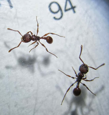 Workers of Pristomyrmex sp