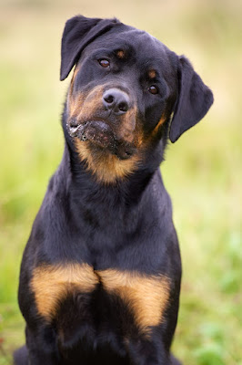 Interesting facts about Rottweilers
