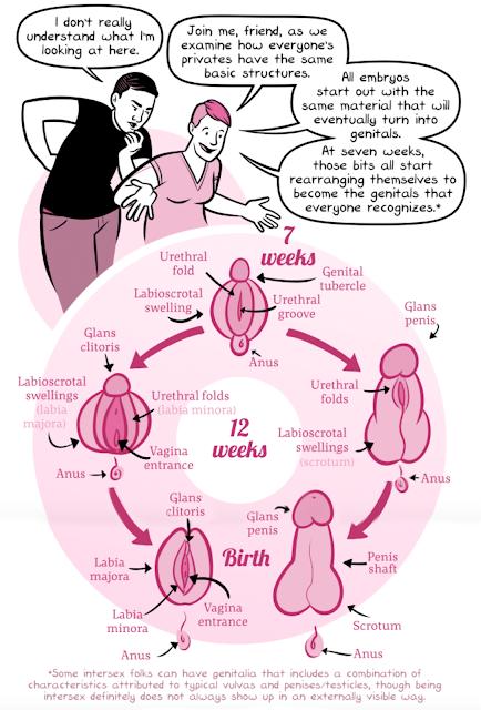 Homologous Sex Organs 39