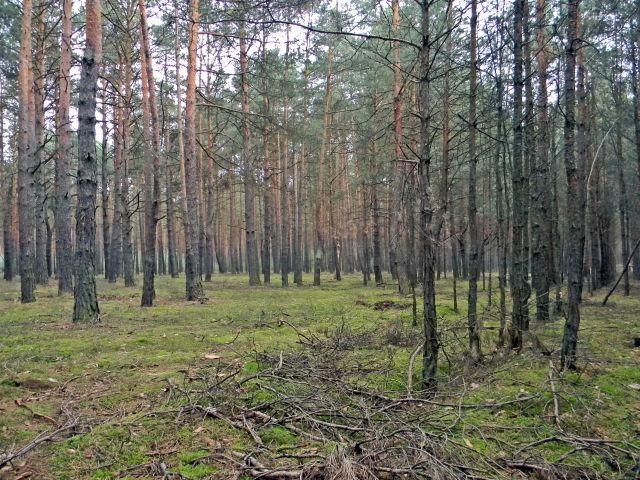 grzybobranie, lasy lubuskie