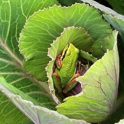 frogs on flower farm