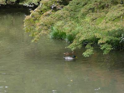 【京都府】京都府立植物園 池 カモ
