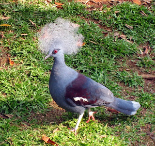 Western Crowned Pigeon, Papua Endemic Species