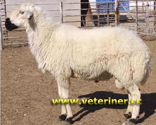 белокараманская порода овцы