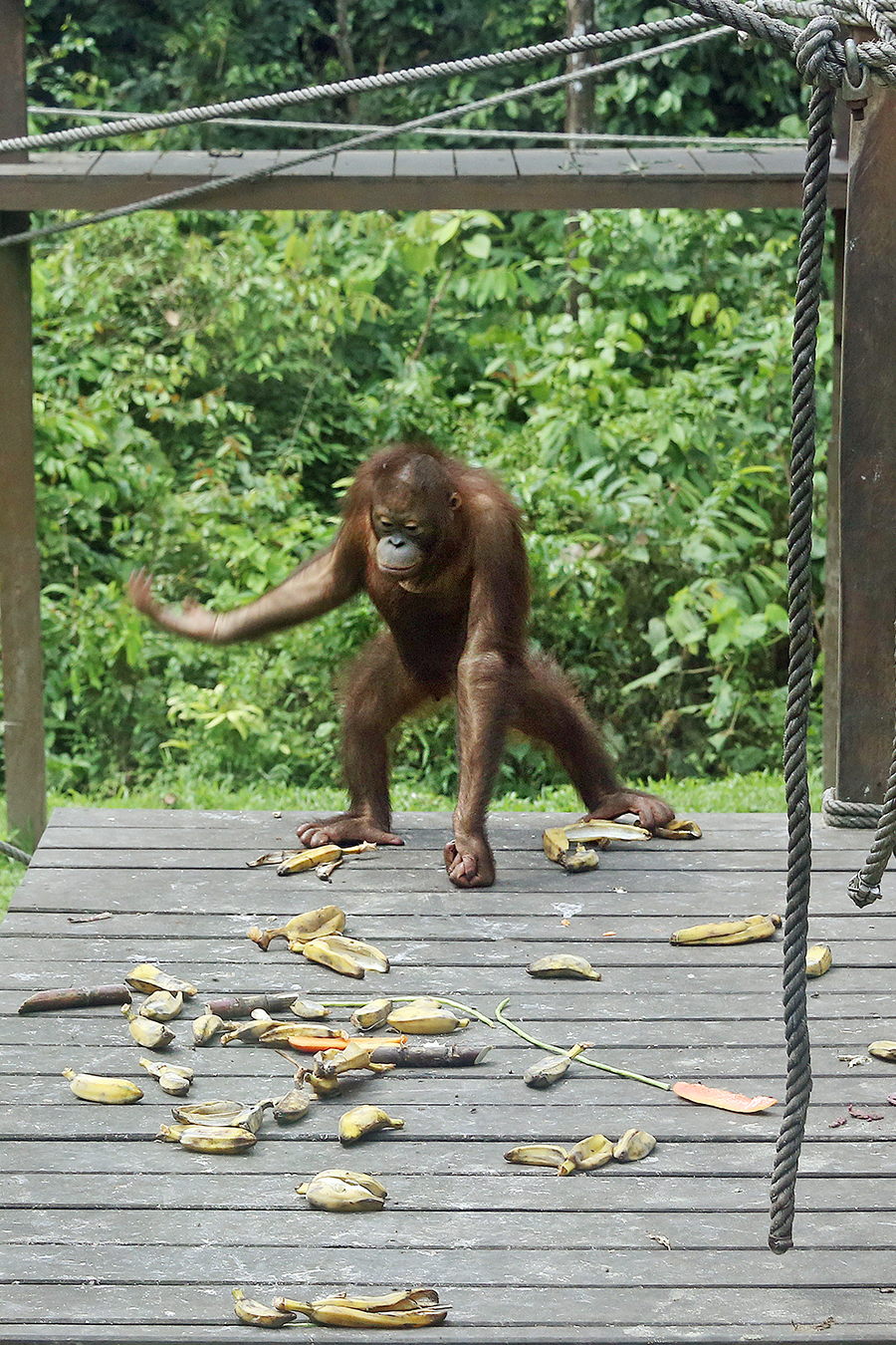 Sabah, Malaysia: An up close and personal encounter with an orangutan in its natural habitat at Sepilok Orangutan Rehabilitation Centre.