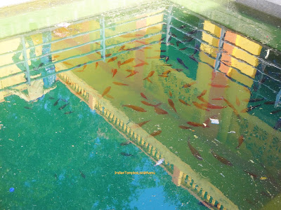 Fishes at Baneshwar Temple