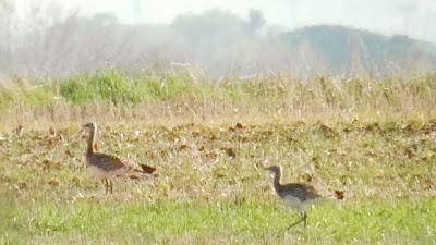 Grupo machos jovenes, alimentación, Avutardas, Otis tarda, Arroyo Galga, ZEPA 139, excursión, Estepas cerealistas ríos Jarama y Henares, Talamanca del Jarama, marzo 2017