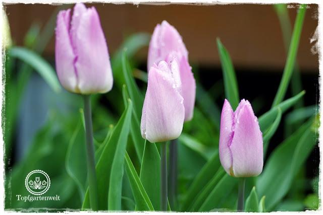 Gartenblog Topfgartenwelt Wetter: Von Spätfrost sind auch Tulpen bedroht.