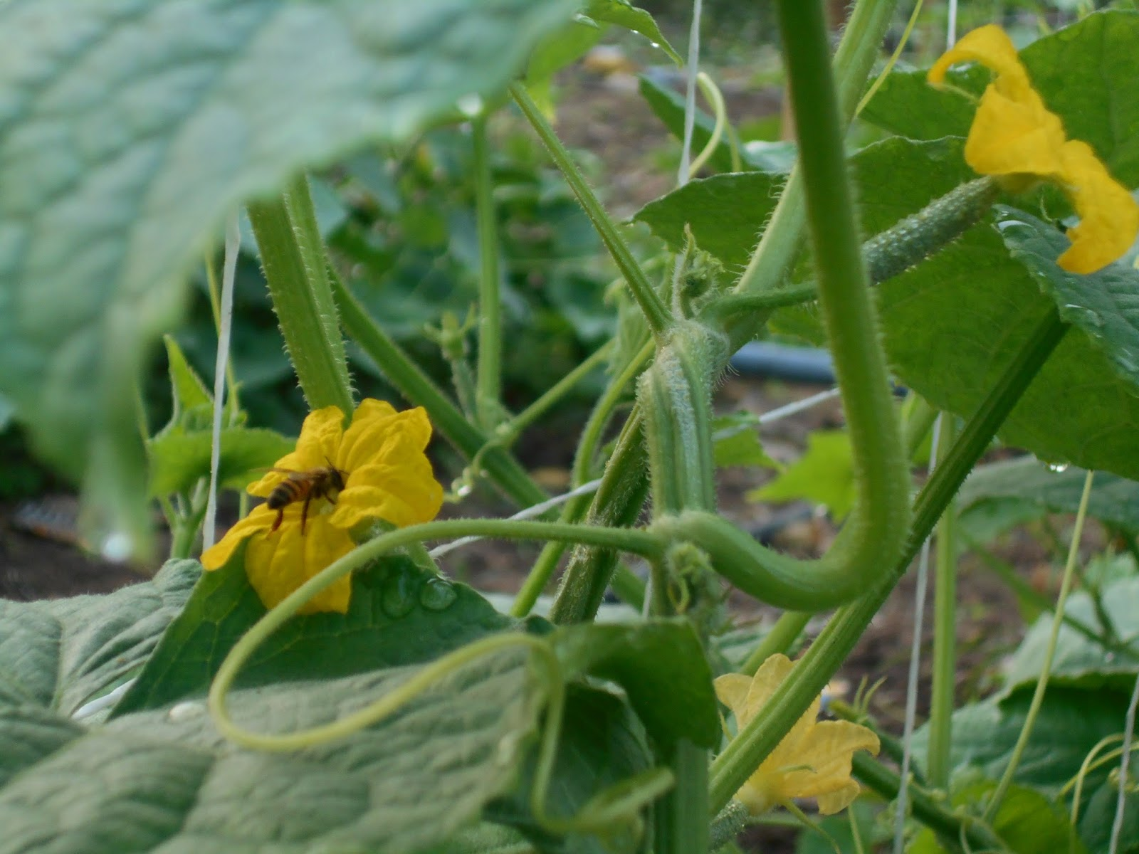 cucumber cultivation dictionary part 3 hybrid veggies