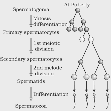 Ncert solutions for class 12th ch 3 human reproduction biology spermatogenesis process ccuart