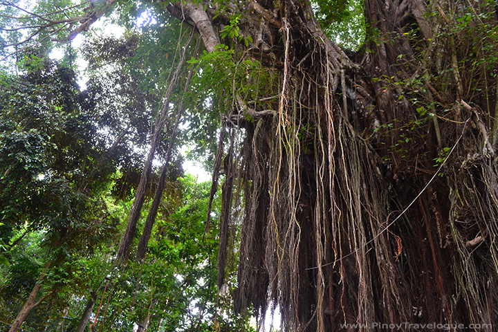Huge balete tree of Lazi, Siquijor