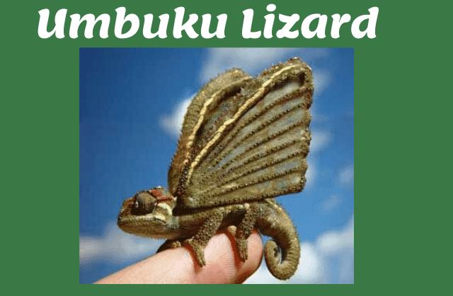 umbuku lizard