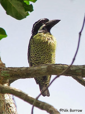 Hairy breasted Barbet