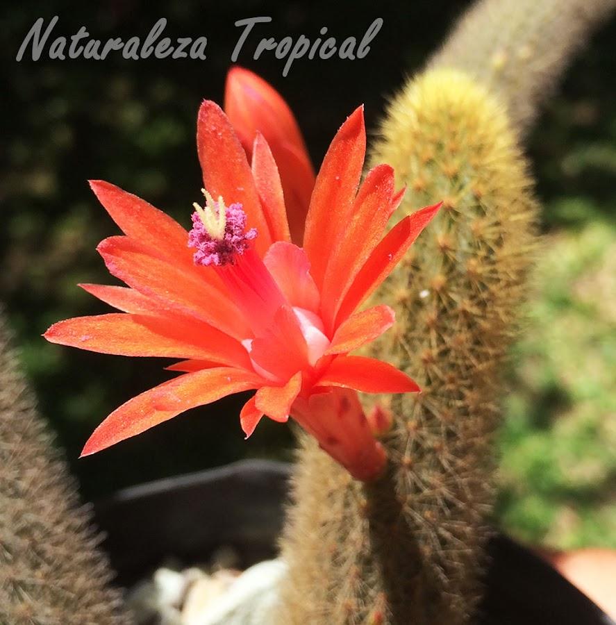 Detalles de la flor del cactus Cleistocactus winteri