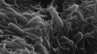 Development of bio-batteries from bacterial cells