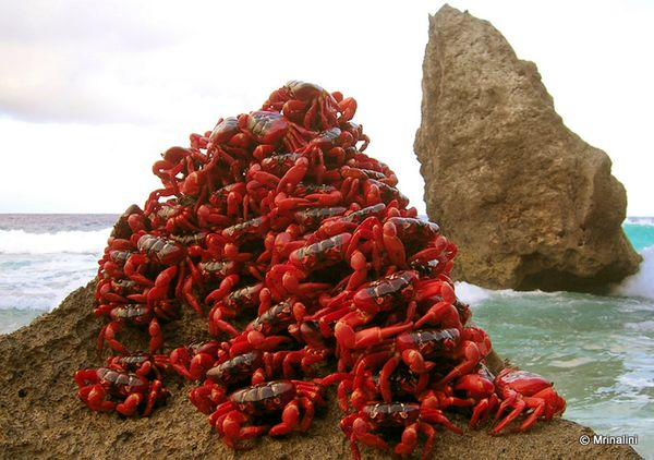 Best Jungle Life: red crab christmas island wallpapers