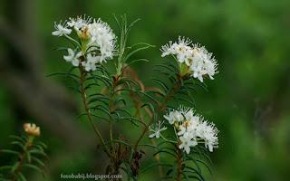 http://fotobabij.blogspot.com/2015/10/kwiaty-bagno-zwyczajne-rhododendron.html