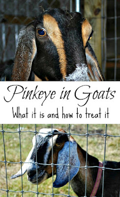 Pinkeye in goats - how to recognize it and how to treat it - From Oak Hill Homestead