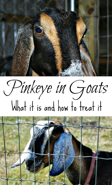 Pink eye in goats - what it is and how to treat it.