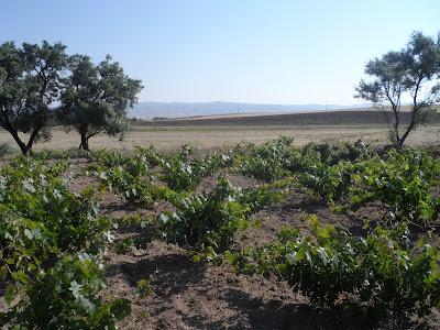 Aksaray üzüm bağı fotoğrafı
