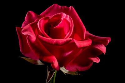 El color de las rosas y su significado
