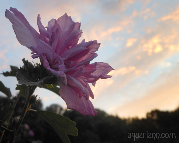 Purple Rose Of Sharon Flower Photo by Aquariann