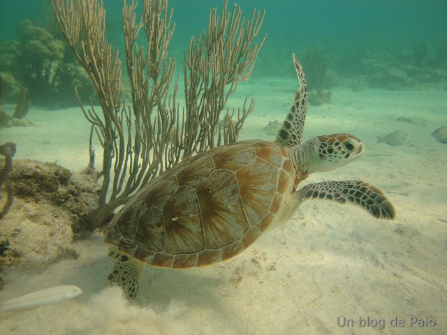 Tortugas Riviera Maya