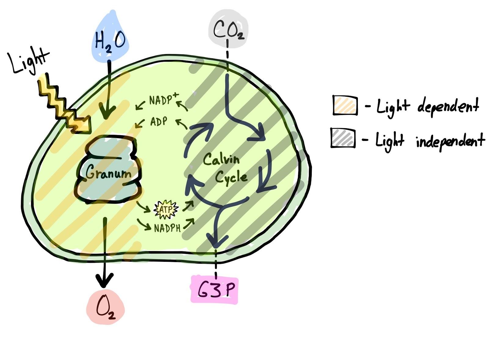 Light Reactions Photosystem Diagram Nissan Navara Radio Wiring Biology Bīˈäləjē November 2015