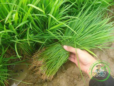 Benih benih padi TRISAKTI setelah dicabut lalu diikat,