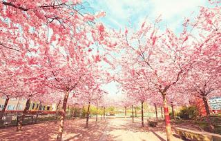 Gambar Bunga Sakura Paling cantik di Jepang 20000
