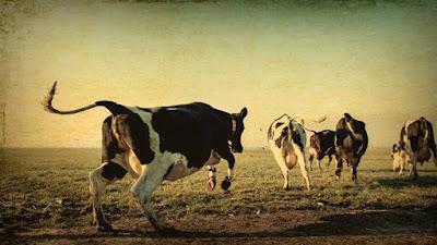 voorjaar koeien weiland