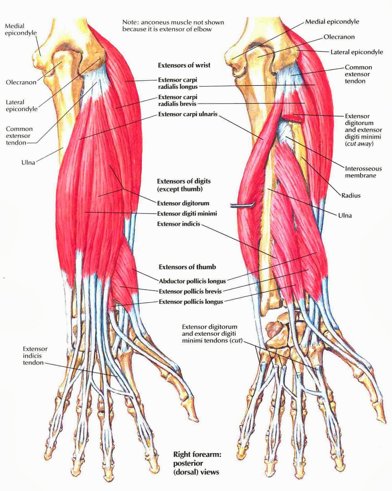 anatomy forearm anatomy picture reference and health news