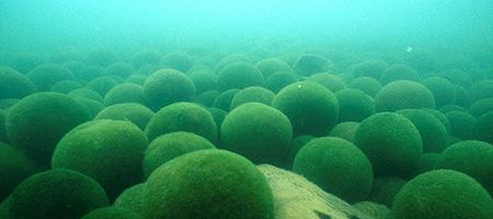 球体ではないもの?琵琶湖にもいる?不思議な生き物マリモ【n】