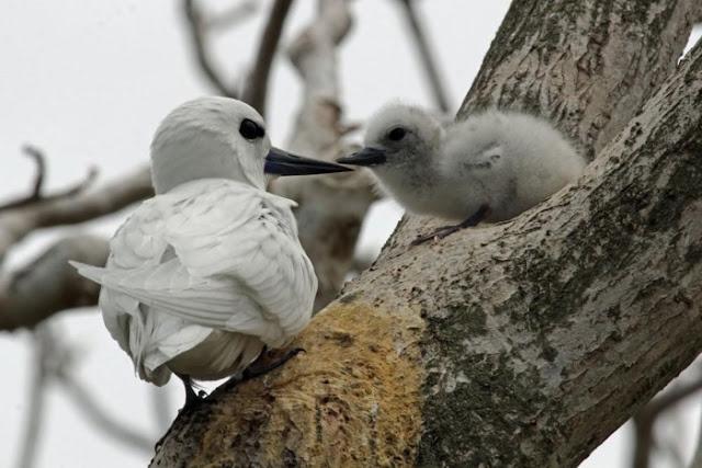 Chim nhàn trắng cũng nuôi con ngay trên cành cây. Chim mẹ thường kẹp trứng hoặc chim con vào giữa hai chân của mình để khỏi bị rơi.