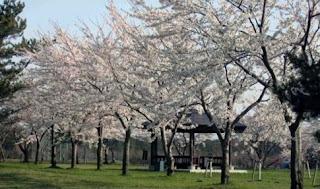 Tsugaru City Spring Festival Hiratakanuma Park つがる市春まつり 平滝沼公園 Tsugaru-shi Haru Matsuri