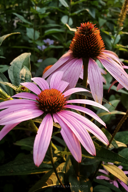 Pink blossoms of Echinacea perennial flower