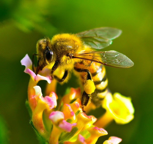 Honey Bee - Facts, information and pictures 7