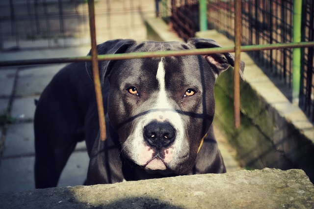 Sad Staffie behind bars in a dog pound