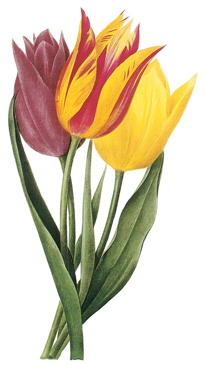 Spring Clip Art: Spring Tulips Clip Art