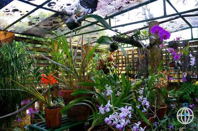 orchidea soroa