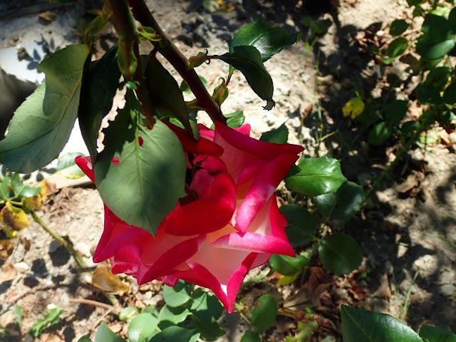 Kazanłyk - róże