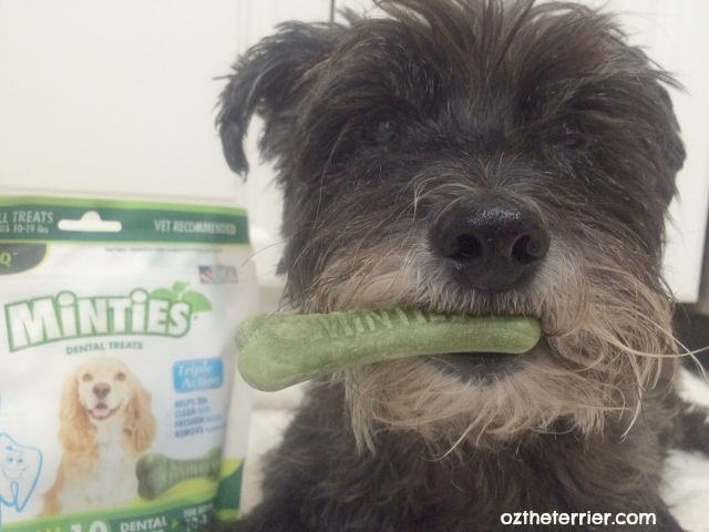 Oz the Terrier tries Minties Dental Treats by VetIQ