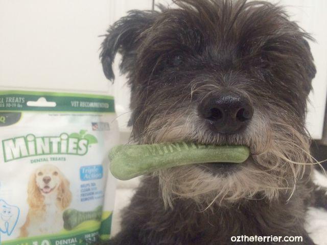 Oz the Terrier tries Minties Dental Treats by VetIQ