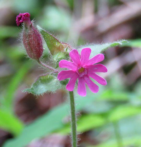 Bniec czerwony (Melandrium rubrum Garcke).