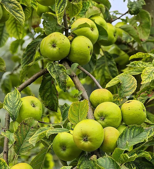 Bunches of ripening apples in closeup