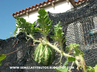 patilla, sandia cultivada en maceta