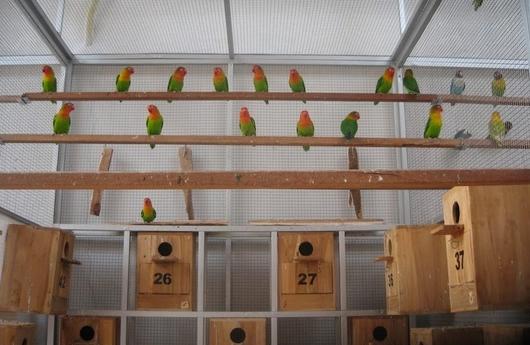 Kandang Ternak Lovebird yang Baik Beserta Gambar