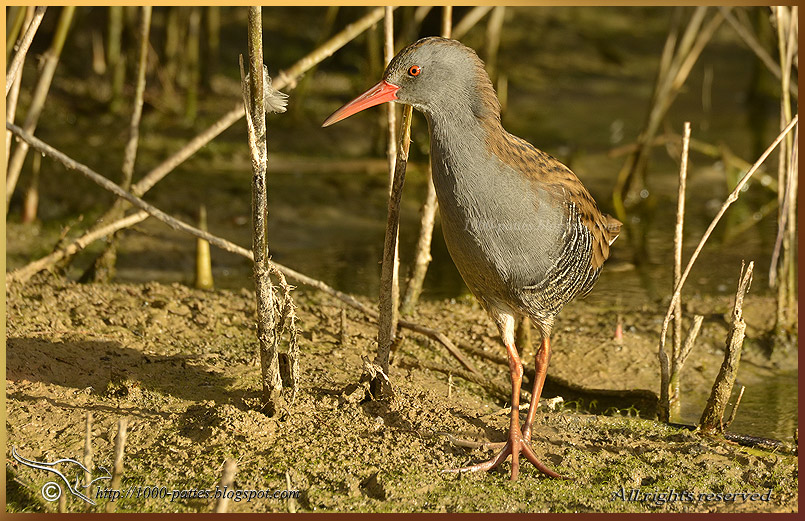The Water Rail
